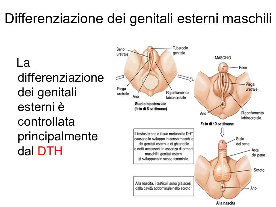 Differenziazione dei genitali esterni maschili La differenziazione dei genitali esterni è controllata principalmente dal DTH