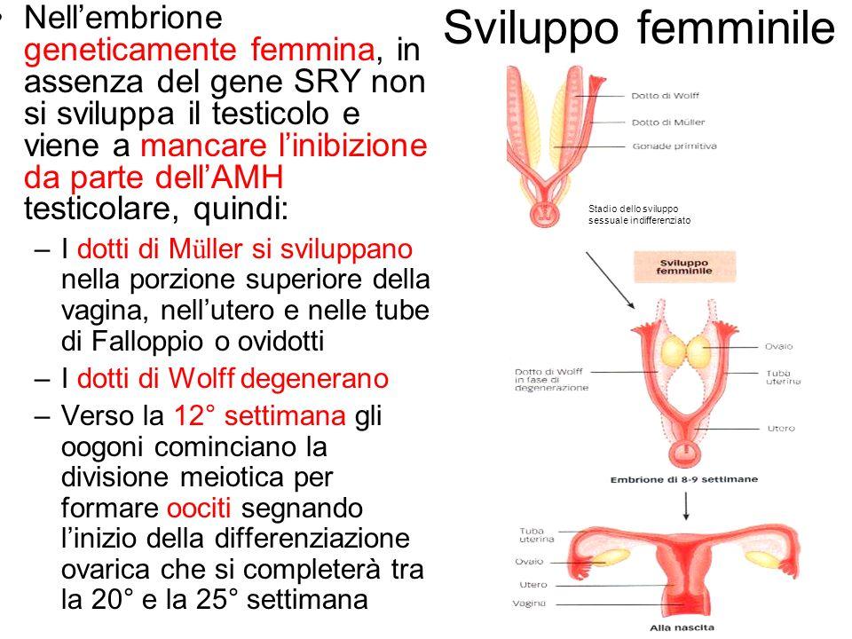 Sviluppo femminile Nellembrione geneticamente femmina, in assenza del gene SRY non si sviluppa il testicolo e viene a mancare linibizione da parte del