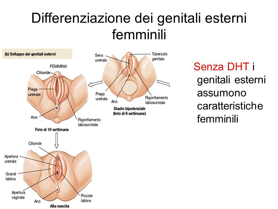 Differenziazione dei genitali esterni femminili Senza DHT i genitali esterni assumono caratteristiche femminili