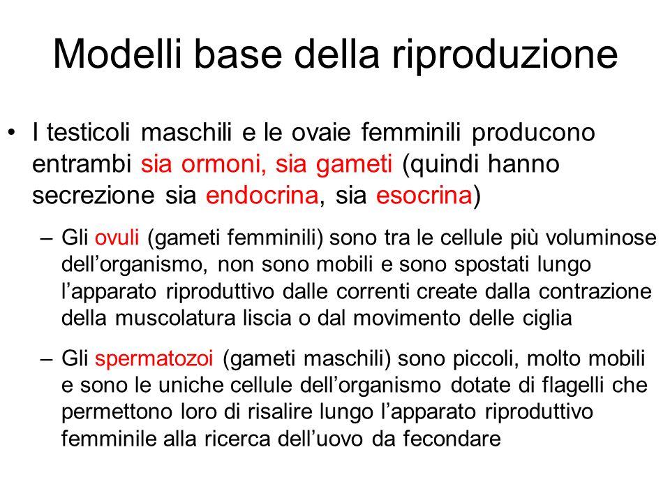 Modelli base della riproduzione I testicoli maschili e le ovaie femminili producono entrambi sia ormoni, sia gameti (quindi hanno secrezione sia endoc