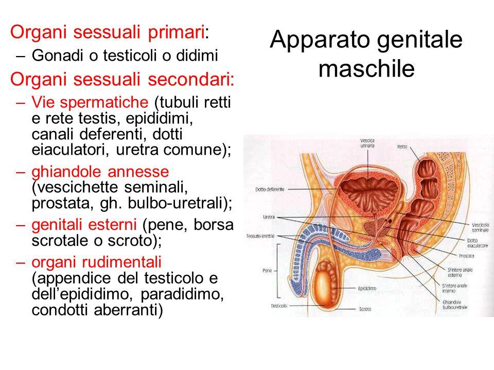 Apparato genitale maschile Organi sessuali primari: –Gonadi o testicoli o didimi Organi sessuali secondari: –Vie spermatiche (tubuli retti e rete test