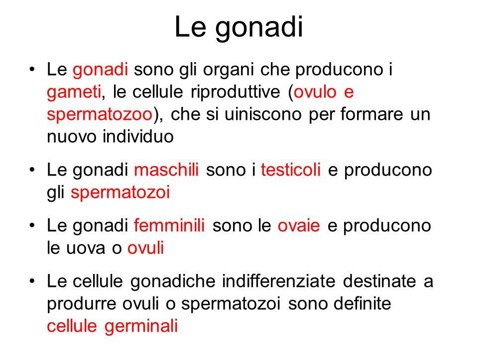 Le gonadi Le gonadi sono gli organi che producono i gameti, le cellule riproduttive (ovulo e spermatozoo), che si uiniscono per formare un nuovo indiv