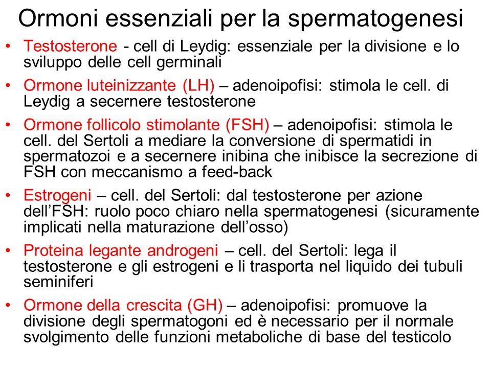 Ormoni essenziali per la spermatogenesi Testosterone - cell di Leydig: essenziale per la divisione e lo sviluppo delle cell germinali Ormone luteinizz