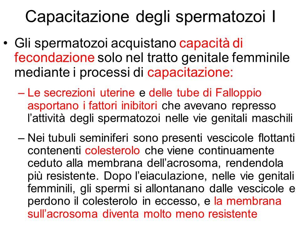 Capacitazione degli spermatozoi I Gli spermatozoi acquistano capacità di fecondazione solo nel tratto genitale femminile mediante i processi di capaci