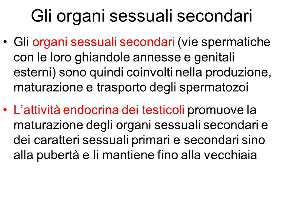 Gli organi sessuali secondari Gli organi sessuali secondari (vie spermatiche con le loro ghiandole annesse e genitali esterni) sono quindi coinvolti n