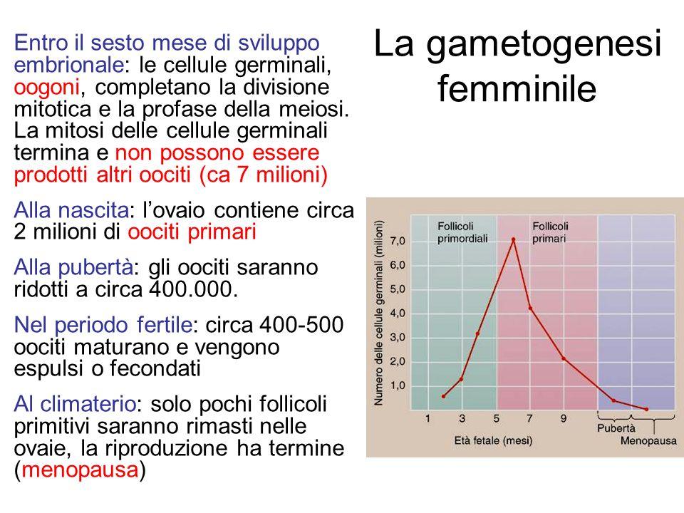 La gametogenesi femminile Entro il sesto mese di sviluppo embrionale: le cellule germinali, oogoni, completano la divisione mitotica e la profase dell