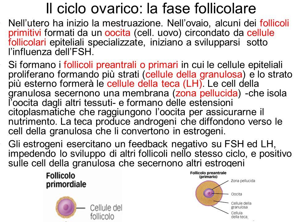 Il ciclo ovarico: la fase follicolare Nellutero ha inizio la mestruazione. Nellovaio, alcuni dei follicoli primitivi formati da un oocita (cell. uovo)