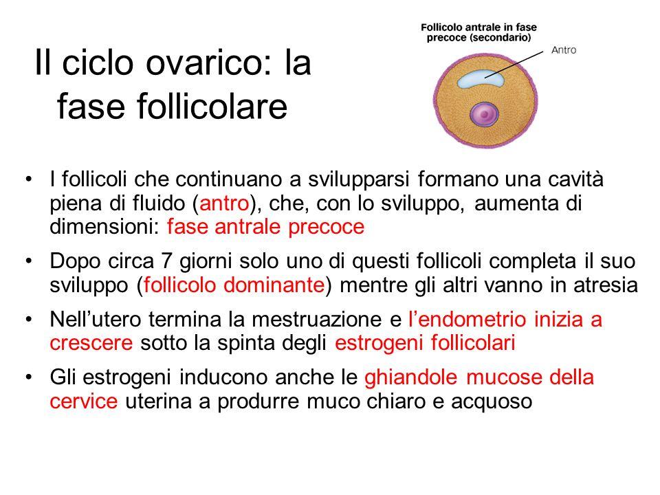 Il ciclo ovarico: la fase follicolare I follicoli che continuano a svilupparsi formano una cavità piena di fluido (antro), che, con lo sviluppo, aumen