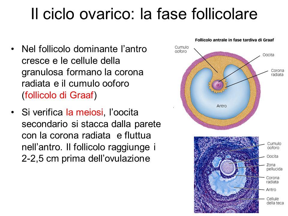 Il ciclo ovarico: la fase follicolare Nel follicolo dominante lantro cresce e le cellule della granulosa formano la corona radiata e il cumulo ooforo