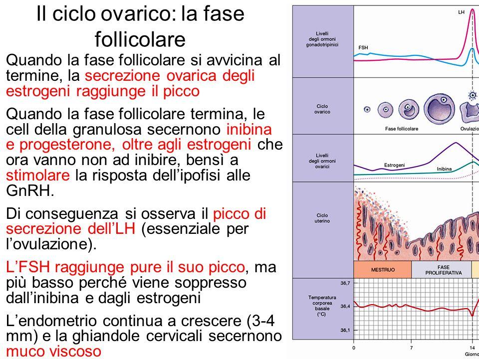 Il ciclo ovarico: la fase follicolare Quando la fase follicolare si avvicina al termine, la secrezione ovarica degli estrogeni raggiunge il picco Quan