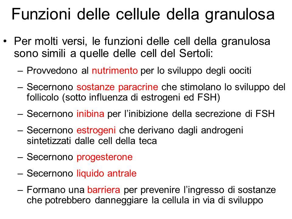 Funzioni delle cellule della granulosa Per molti versi, le funzioni delle cell della granulosa sono simili a quelle delle cell del Sertoli: –Provvedon