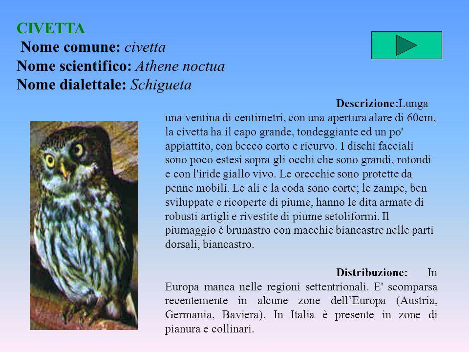 CIVETTA Nome comune: civetta Nome scientifico: Athene noctua Nome dialettale: Schigueta Descrizione:Lunga una ventina di centimetri, con una apertura