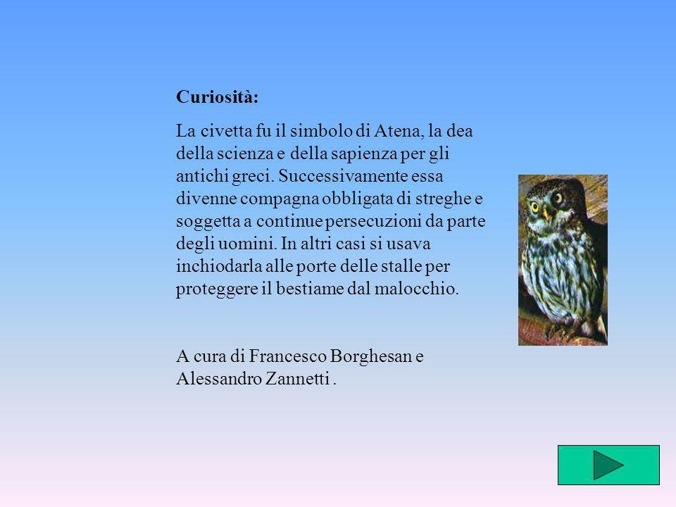 Curiosità: La civetta fu il simbolo di Atena, la dea della scienza e della sapienza per gli antichi greci. Successivamente essa divenne compagna obbli