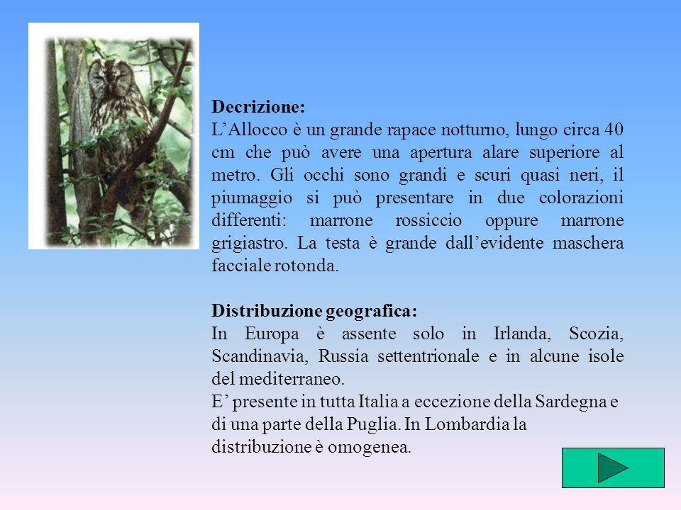 Habitat e comportamento: Frequenta prevalentemente i boschi di latifoglie con vecchi alberi, con altitudini tra i 20 e 1500m, due depone dal mese di febbraio, dalle alle cinque uova di colore bianco che si schiudono dopo 28-30 giorni.