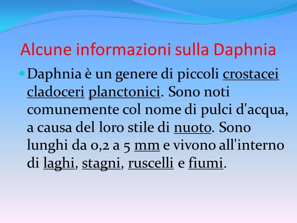 La corporatura della Daphnia La divisione del corpo in segmenti, tipica dei crostacei, in questo genere è praticamente invisibile.