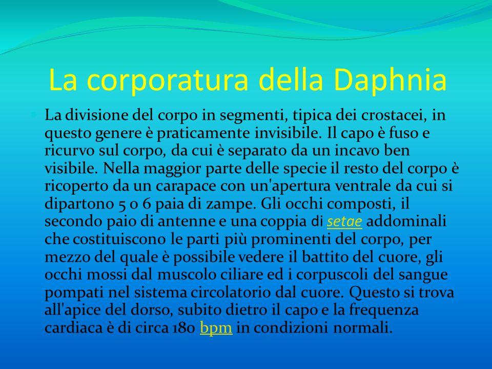 Alimentazione Poche daphnie si cibano di piccoli crostacei e rotiferi, ma la maggior parte sono filtratrici e si cibano di alghe unicellulari, protozoi e batteri.