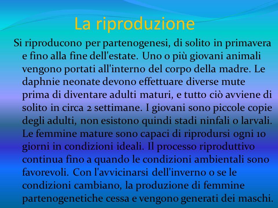 Riproduzione 2 Ad ogni modo anche in condizioni ambientali avverse i maschi sono solo la metà della popolazione totale e in alcune specie essi sono del tutto assenti.
