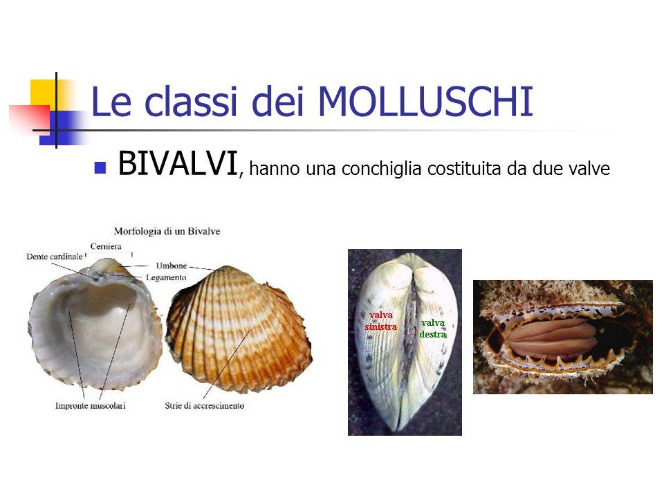 Le classi dei MOLLUSCHI BIVALVI, hanno una conchiglia costituita da due valve