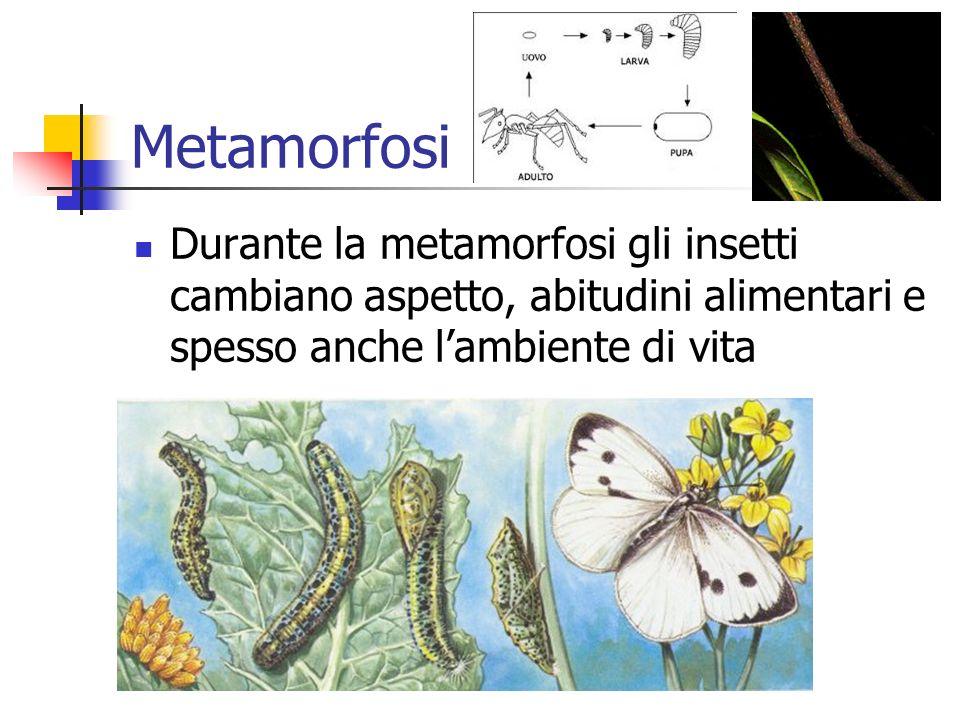 Metamorfosi Durante la metamorfosi gli insetti cambiano aspetto, abitudini alimentari e spesso anche lambiente di vita