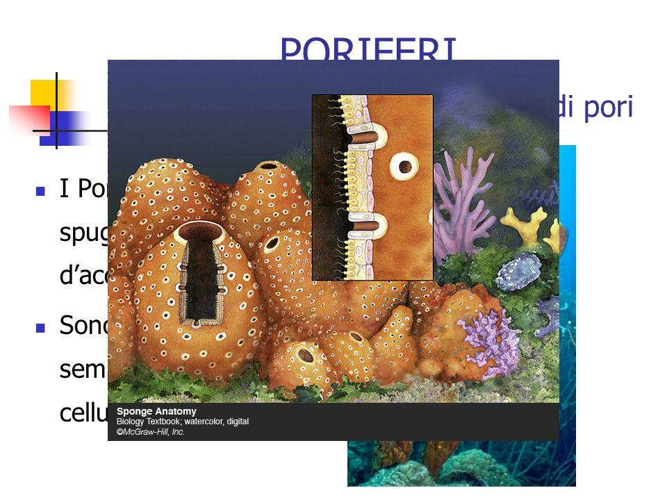 PORIFERI Le spugne, un sacchetto coperto di pori I Poriferi sono le spugne di mare e dacqua dolce Sono gli animali più semplici, hanno solo cellule sp
