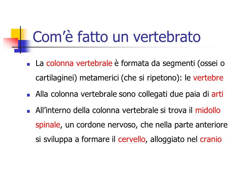 Comè fatto un vertebrato La colonna vertebrale è formata da segmenti (ossei o cartilaginei) metamerici (che si ripetono): le vertebre Alla colonna ver