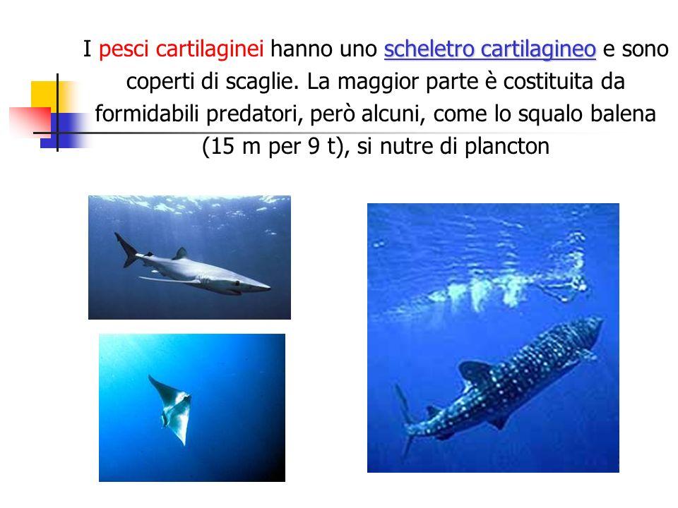 scheletro cartilagineo I pesci cartilaginei hanno uno scheletro cartilagineo e sono coperti di scaglie. La maggior parte è costituita da formidabili p