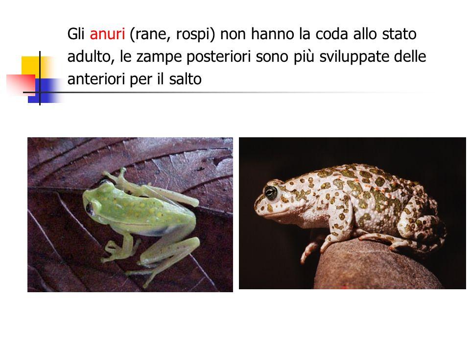 Gli anuri (rane, rospi) non hanno la coda allo stato adulto, le zampe posteriori sono più sviluppate delle anteriori per il salto