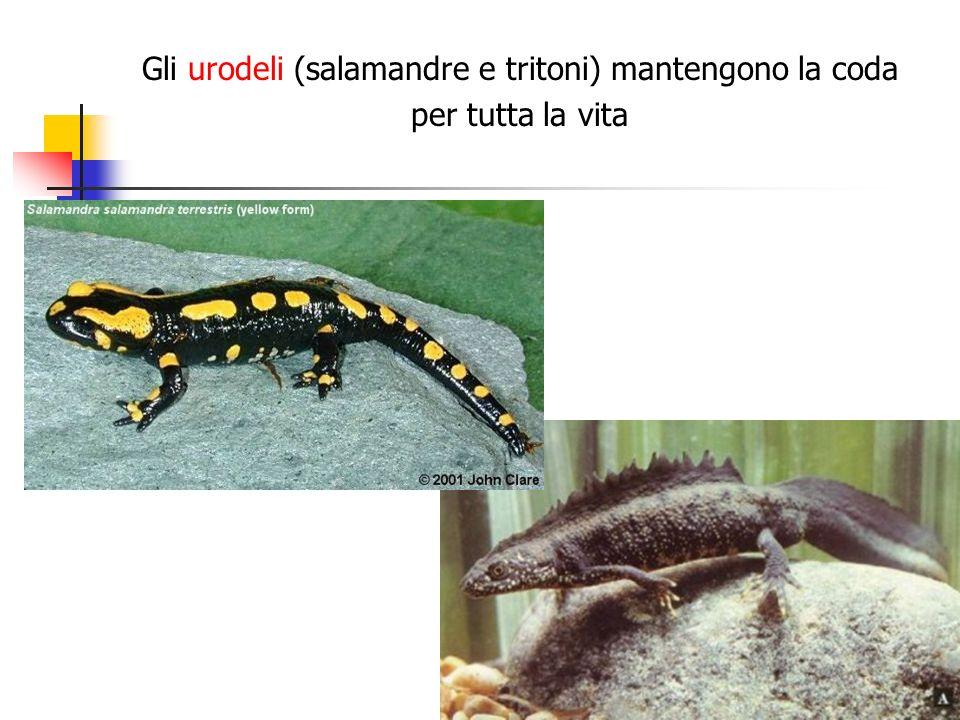 Gli urodeli (salamandre e tritoni) mantengono la coda per tutta la vita