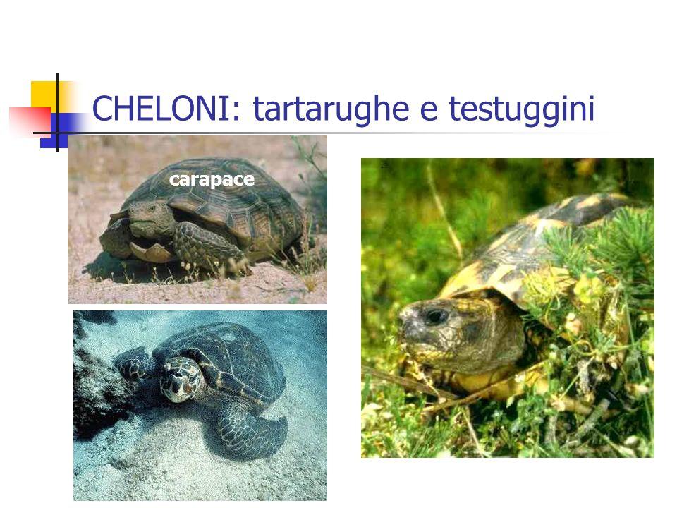 carapace CHELONI: tartarughe e testuggini