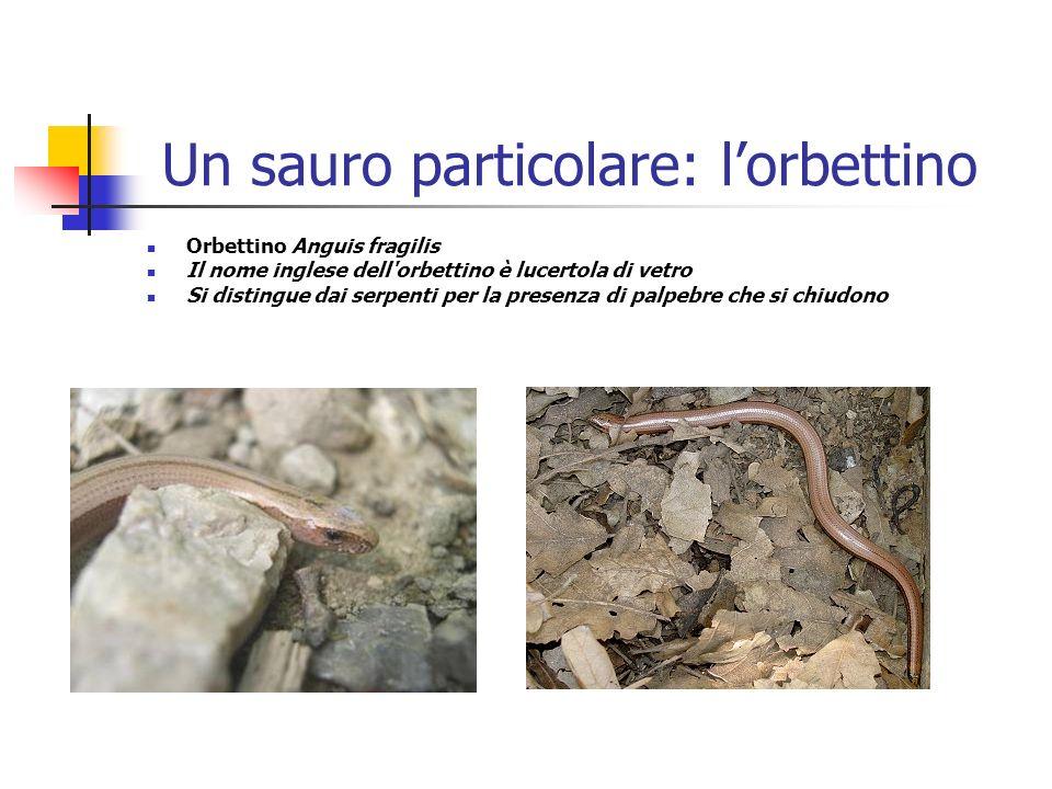 Un sauro particolare: lorbettino Orbettino Anguis fragilis Il nome inglese dell'orbettino è lucertola di vetro Si distingue dai serpenti per la presen