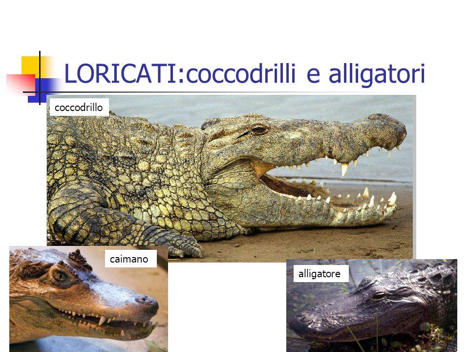 LORICATI:coccodrilli e alligatori coccodrillo alligatore caimano