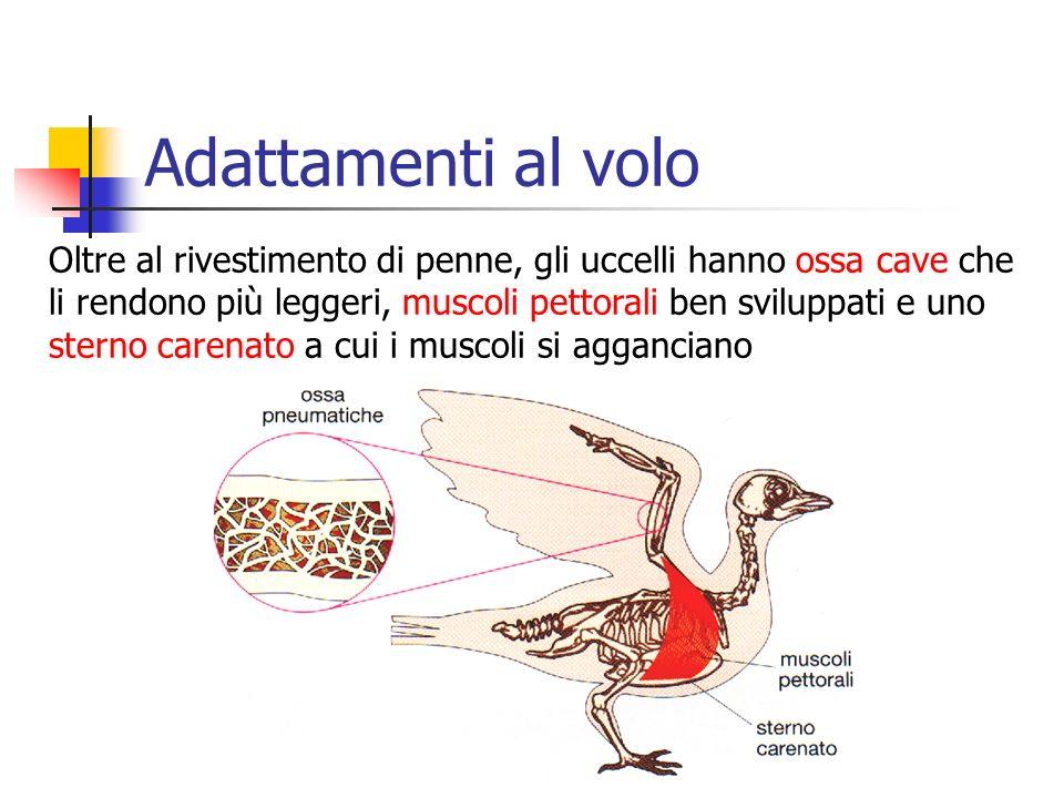 Adattamenti al volo Oltre al rivestimento di penne, gli uccelli hanno ossa cave che li rendono più leggeri, muscoli pettorali ben sviluppati e uno ste