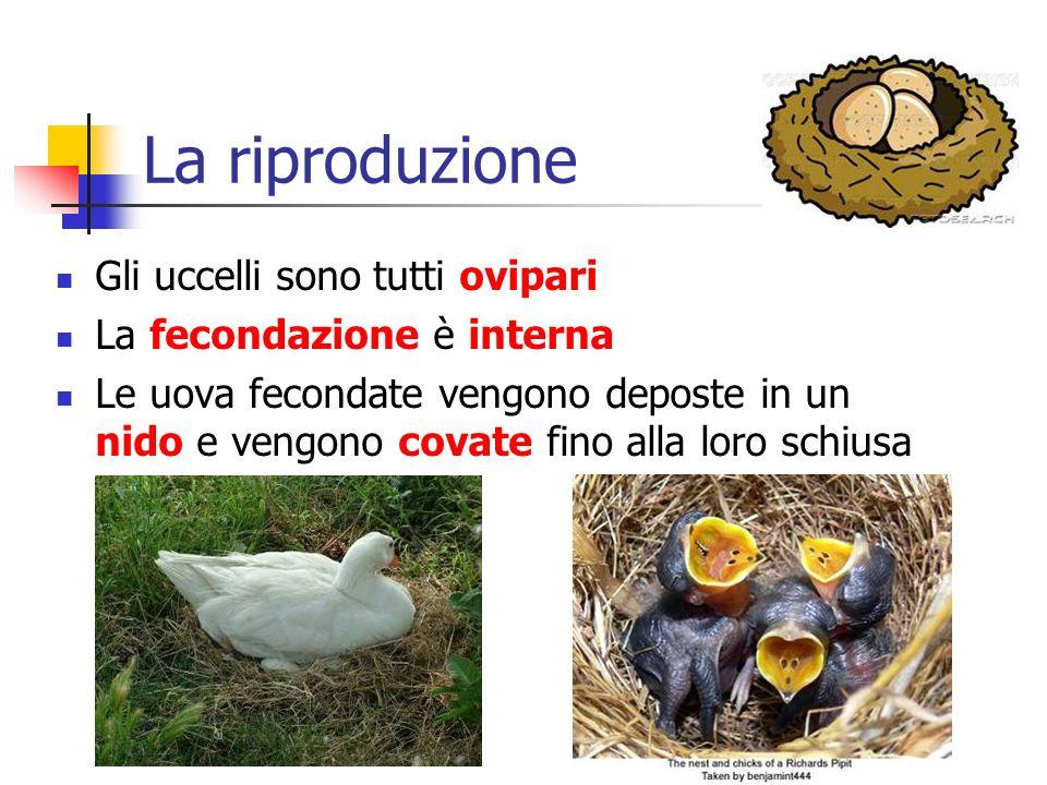 La riproduzione Gli uccelli sono tutti ovipari La fecondazione è interna Le uova fecondate vengono deposte in un nido e vengono covate fino alla loro