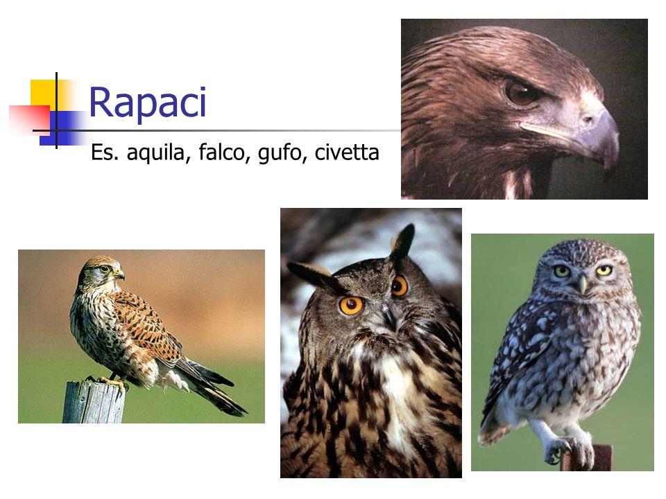Rapaci Es. aquila, falco, gufo, civetta