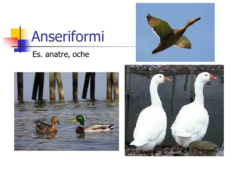 Anseriformi Es. anatre, oche
