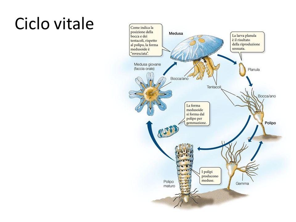 Ciclo vitale