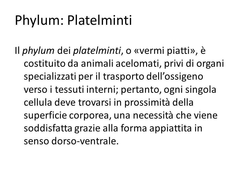 Phylum: Platelminti Il phylum dei platelminti, o «vermi piatti», è costituito da animali acelomati, privi di organi specializzati per il trasporto del
