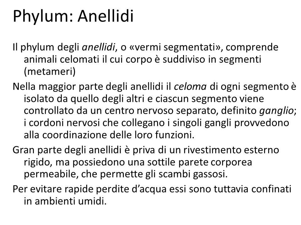 Phylum: Anellidi Il phylum degli anellidi, o «vermi segmentati», comprende animali celomati il cui corpo è suddiviso in segmenti (metameri) Nella magg