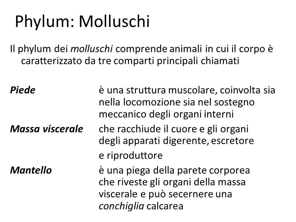 Phylum: Molluschi Il phylum dei molluschi comprende animali in cui il corpo è caratterizzato da tre comparti principali chiamati Piedeè una struttura
