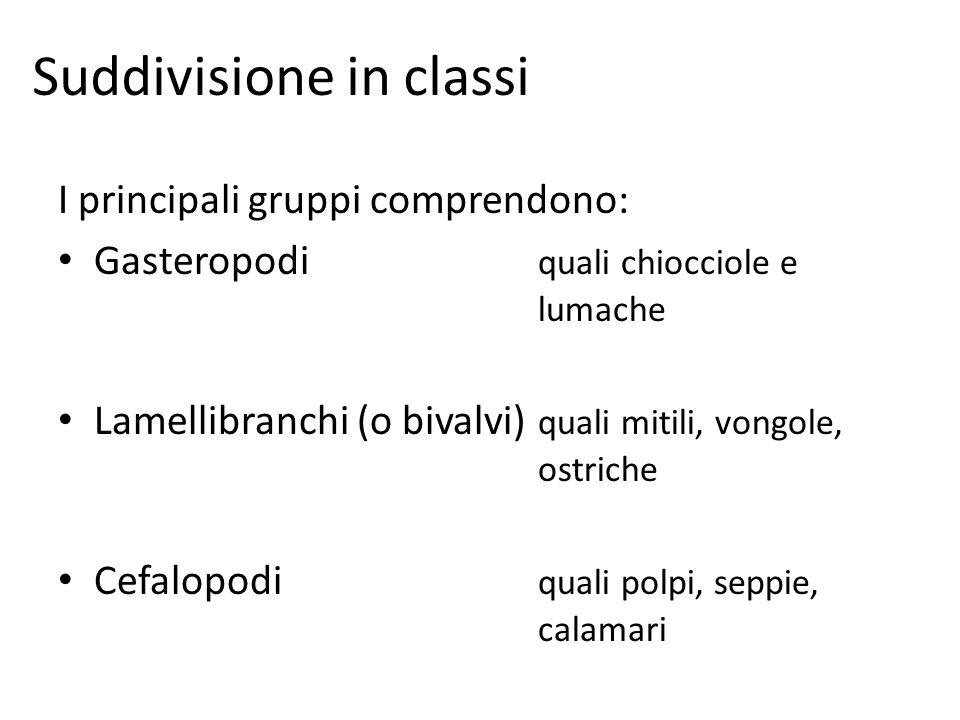 Suddivisione in classi I principali gruppi comprendono: Gasteropodi quali chiocciole e lumache Lamellibranchi (o bivalvi) quali mitili, vongole, ostri