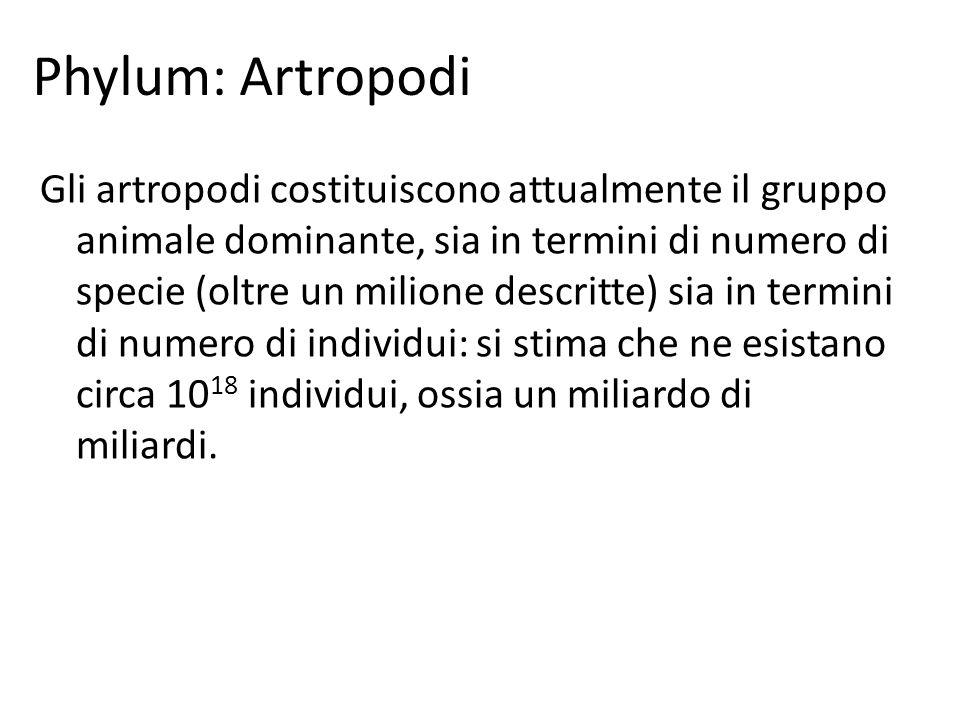 Phylum: Artropodi Gli artropodi costituiscono attualmente il gruppo animale dominante, sia in termini di numero di specie (oltre un milione descritte)