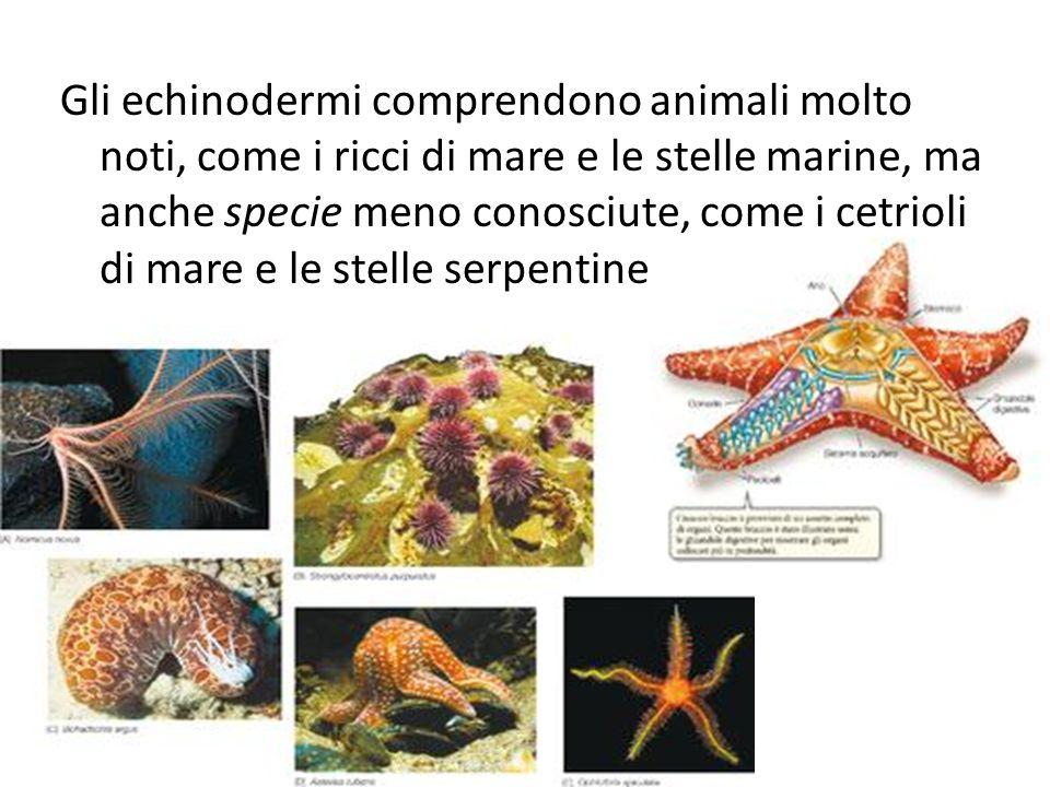 Gli echinodermi comprendono animali molto noti, come i ricci di mare e le stelle marine, ma anche specie meno conosciute, come i cetrioli di mare e le