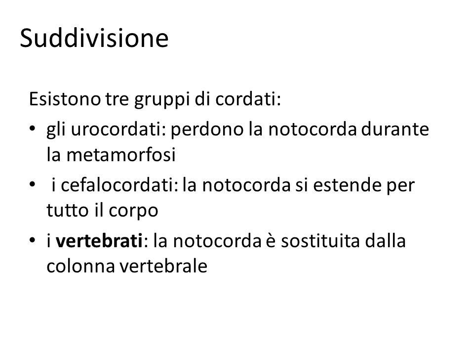 Suddivisione Esistono tre gruppi di cordati: gli urocordati: perdono la notocorda durante la metamorfosi i cefalocordati: la notocorda si estende per