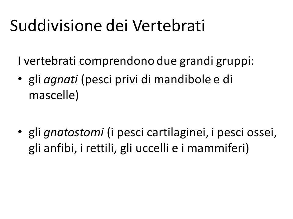 Suddivisione dei Vertebrati I vertebrati comprendono due grandi gruppi: gli agnati (pesci privi di mandibole e di mascelle) gli gnatostomi (i pesci ca