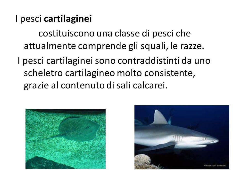 I pesci cartilaginei costituiscono una classe di pesci che attualmente comprende gli squali, le razze. I pesci cartilaginei sono contraddistinti da un