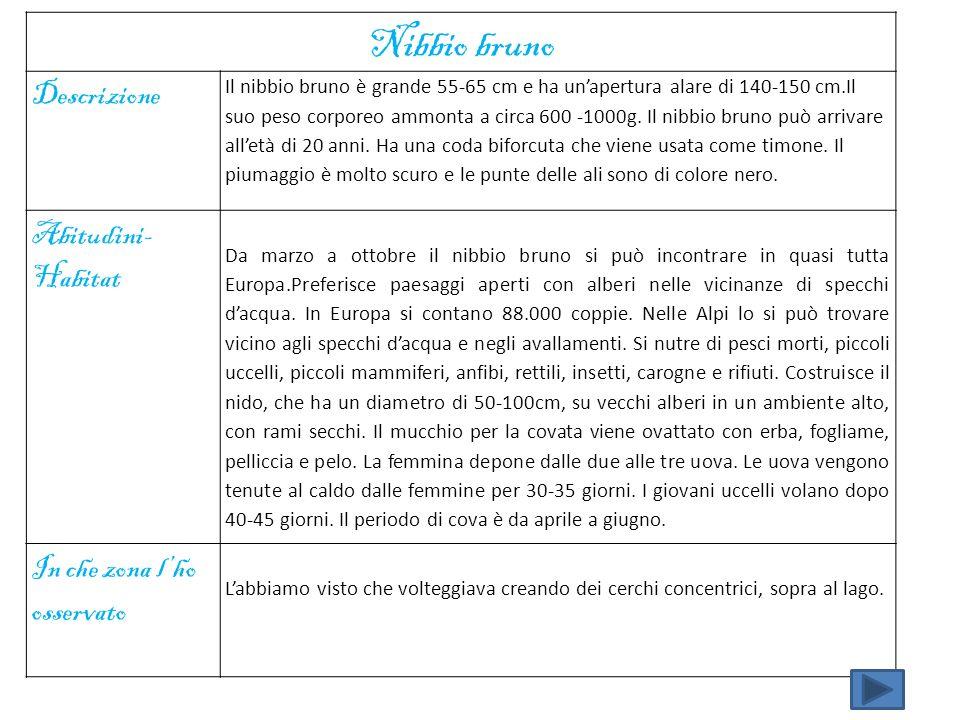 Nibbio bruno Descrizione Il nibbio bruno è grande 55-65 cm e ha unapertura alare di 140-150 cm.Il suo peso corporeo ammonta a circa 600 -1000g. Il nib