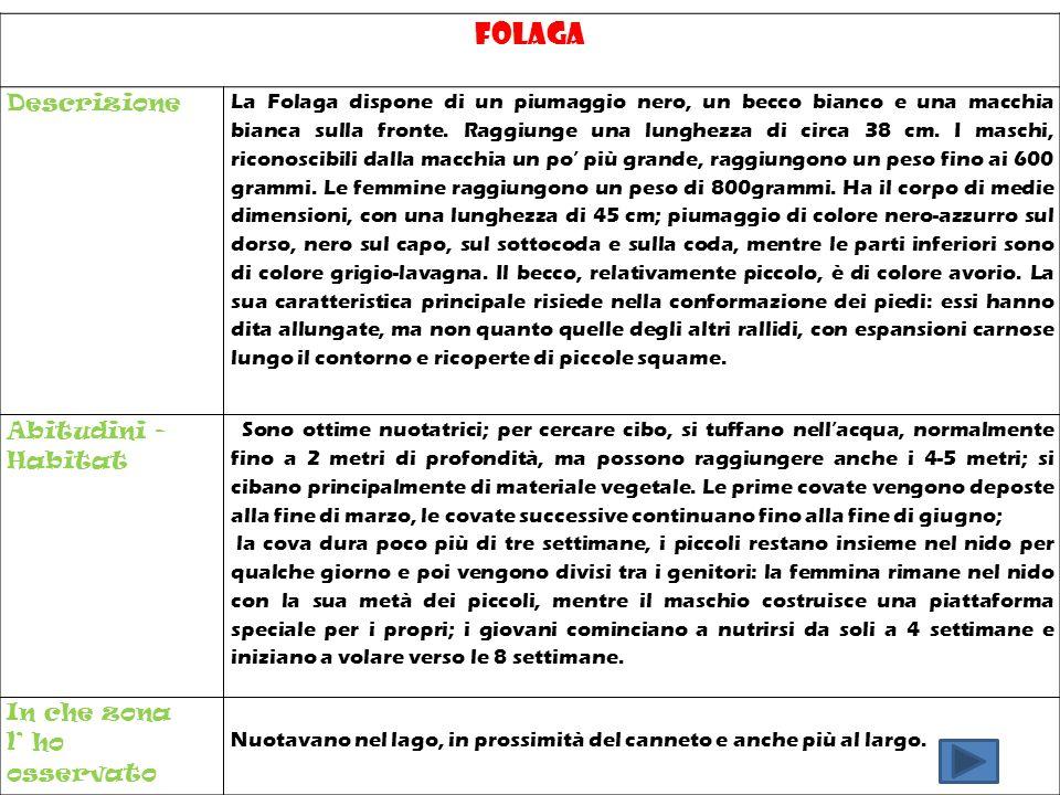 Folaga Descrizione La Folaga dispone di un piumaggio nero, un becco bianco e una macchia bianca sulla fronte. Raggiunge una lunghezza di circa 38 cm.