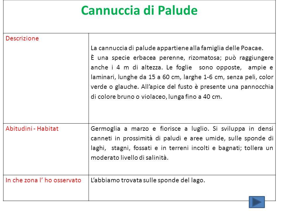 Cannuccia di Palude Descrizione La cannuccia di palude appartiene alla famiglia delle Poacae. È una specie erbacea perenne, rizomatosa; può raggiunger