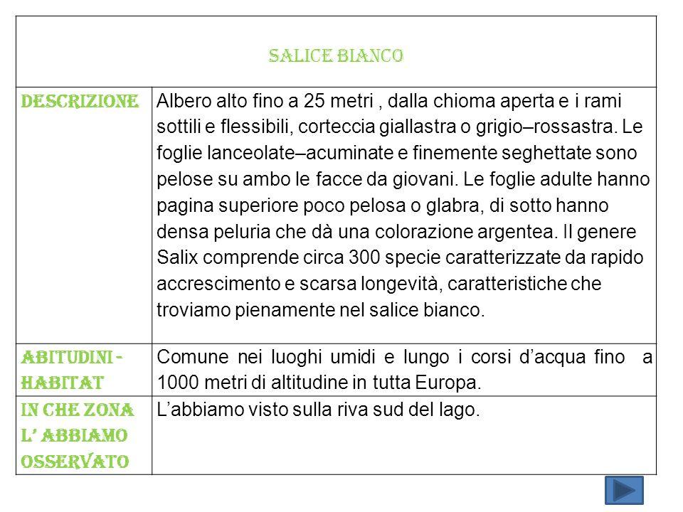 SALICE BIANCO Descrizione Albero alto fino a 25 metri, dalla chioma aperta e i rami sottili e flessibili, corteccia giallastra o grigio–rossastra. Le
