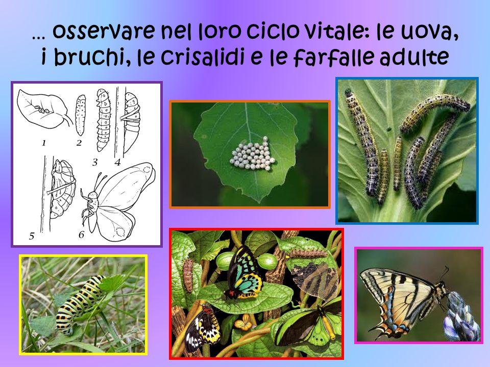 … osservare nel loro ciclo vitale: le uova, i bruchi, le crisalidi e le farfalle adulte